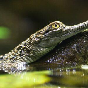 Asian Freshwater Crocodile Juvenile