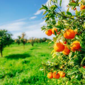 branch orange tree.