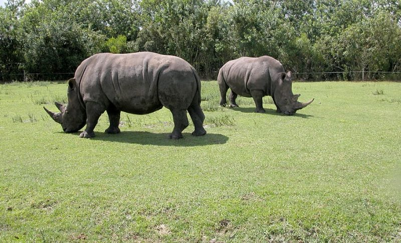Rhinos spotted