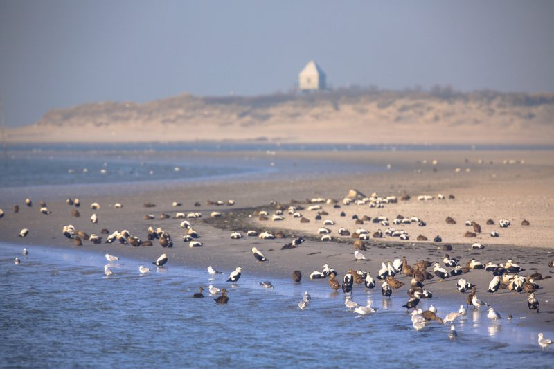 Birds on the shore of Rottumerplaat